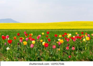 Flowerfield in Spring