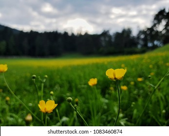 Flowerfield with yellow flowers
