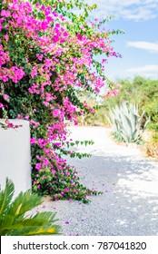 Flowerful big purple bougainvillea plant tree in the greek street of an mediterranean village, Kos Island, Dodecanese, Greece