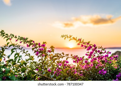 Flowerful big purple bougainvillea plant tree in the greek at sundown sunset in a mediterranean village balcony, Kos Island, Dodecanese, Greece