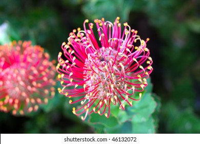 Flowerhead of a Hakea - Australian Native Flower from the Proteaceae family.