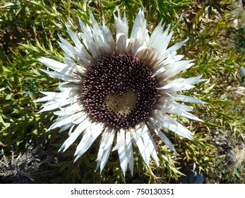Flowerhead of stemless carline thistle