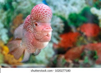 Flowerhorn breeding fish, fish with big head, Fish hobbyist