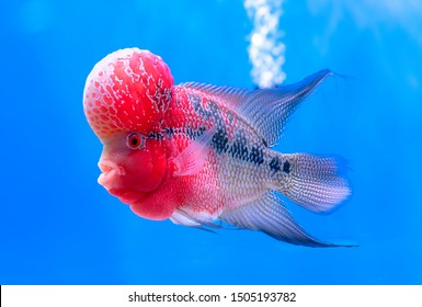 Flowerhorn Cichlid Colorful fish swimming in fish tank. This is an ornamental fish that symbolizes the luck of feng shui in the house