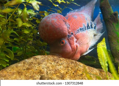 Flowerhorn Cichlid Crossbreed fish was eating plankton on the stone.