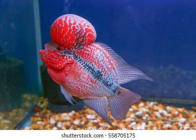 Flowerhorn Cichlid Crossbreed Fish Good Color Red Pearl Cross Head in Aquarium Tank Water with Blue Background
