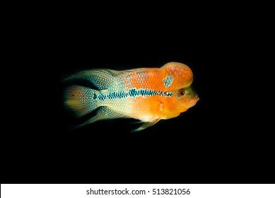 Flowerhorn Cichlid Fish Colorful fish with black Background.