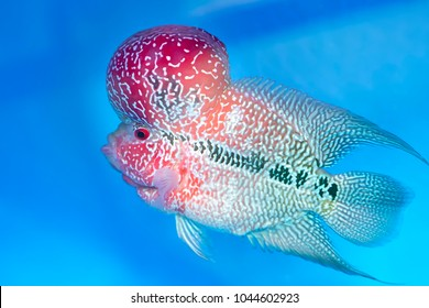 Flowerhorn Cichlid Fish Colorful fish swimming in the lake. This is an ornamental fish that symbolizes the luck in the home of the Asian people