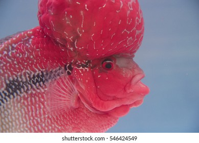 Flowerhorn Cichlid Fish in glass-fishes