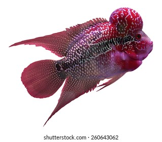 Flowerhorn Cichlid fish on white background