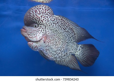 Flowerhorn Cichlid fish in Texture background