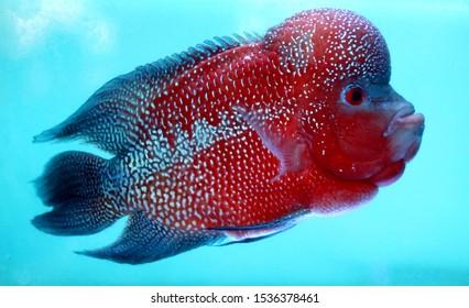 Flowerhorn cichlids or luohan fish in the aquarium.