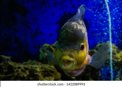 Flowerhorn cichlids are ornamental aquarium fish.Underwater life. Crossbreed cichlid fish. King Kamfa Flowerhorn Fishes In Asia.Coral reef, fish, colorful plants in ocean.