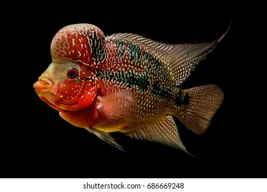 Flowerhorn is the colorful ornamental fish