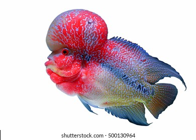 Flowerhorn Crossbreed Cichlid Pet Fish in Tank Water Aquarium with White Background