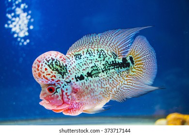 Flowerhorn Fish Aquarium Fish Flower horn Fish
