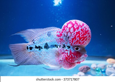 Flowerhorn Fish Aquarium Fish Flower horn Fish Flowerhorn Cichlid Fish