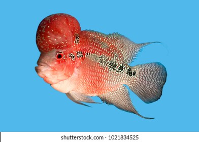 Flowerhorn or louhan fish is lucky fish.