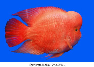 flowerhorn supper red pearl male flowerhorn cichlid best beautiful in water aquarium isolated on blue background
