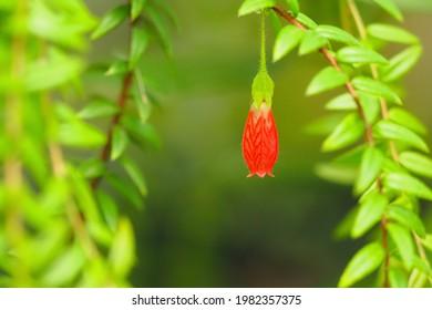 Flowering Agapetes serpens flower in spring. Himalayan lantern flower.