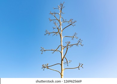 Flowering Agave americana isolated on blue background, Lanzarote, Canary Islands, Spain.