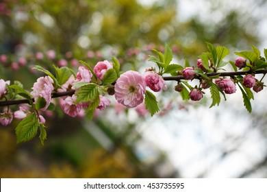 Flowering almond tree - Shutterstock ID 453735595