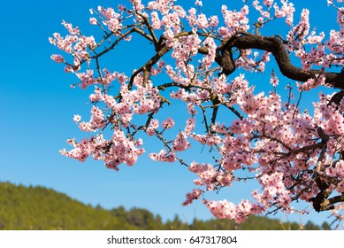 Flowering almond trees against blue sky