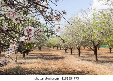 Flowering almond trees in Israel