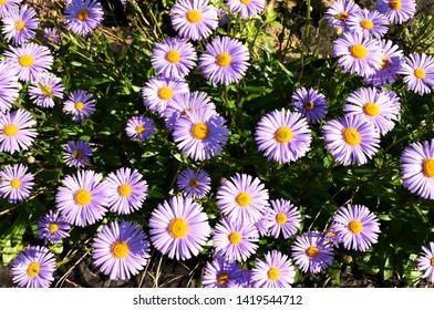 Flowering alpine aster in the garden, Summer