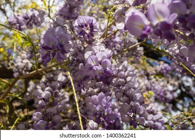Flowering Amethyst Falls Wisteria, Wisteria sinensis in blossom - Image