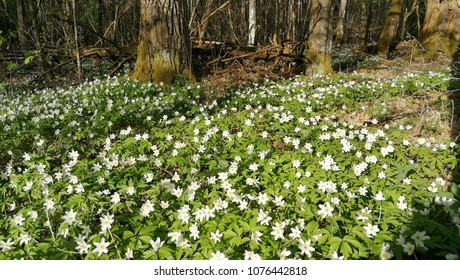 Flowering Anemone flowers in spring, Bialowieza Forest, Poland, Europe