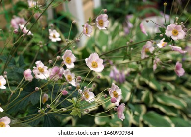 Flowering Anemone hupehensis plant with pink flowers in the summer in the garden. Chinese anemone or Japanese anemone, thimbleweed, or windflower are species in the Ranunculaceae family.