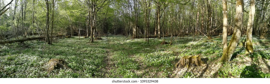 Flowering anemone and path crossing deciduous forest, Bialowieza Forest, Poland, Europe