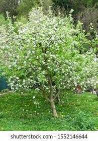 Flowering Apple tree - Malus domestica