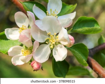 Flowering apple tree. Pink flowers of apple trees in the evening with green leaves .Apple flowers close-up.