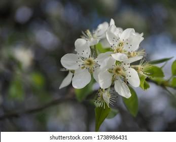 Flowering apple tree in spring, white flowers, apple tree blossom