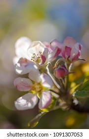 flowering apple trees natural floral background