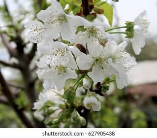 Flowering apple trees spring landscape
