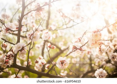 Flowering of apricot