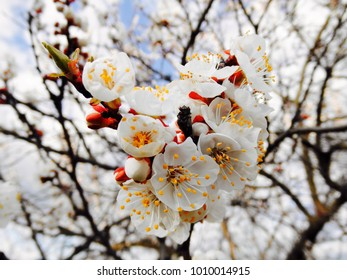 Flowering of apricot close up/Floral spring background