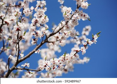 Flowering apricot on a clear day in April