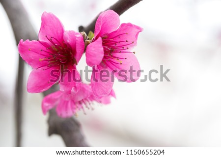 flowering apricot spring flowers