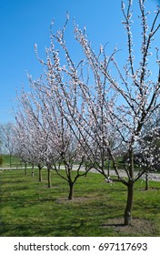 Flowering apricot trees