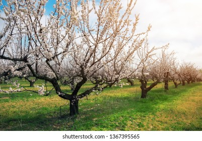 Flowering apricot trees at the garden. Beautiful spring landscape