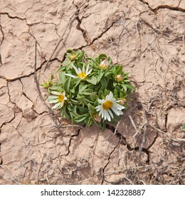 flowering Asteriscus schultzii  on dry cracked earth background