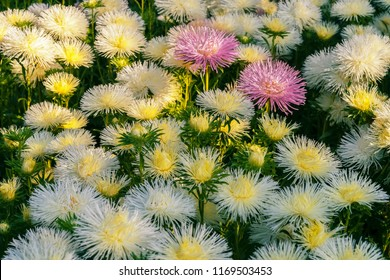 Flowering asters in the summer garden.Two pink  asters among  white asters. Sunny morning.