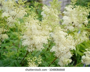 Flowering astilbe in the garden.
