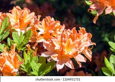 Flowering Atzalea hybrid in Rhododndron Park in Helsinki