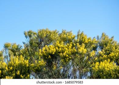 Flowering Australian wattle bush with blue sky above