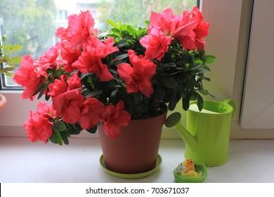 Flowering azalea in a pot on a windowsill